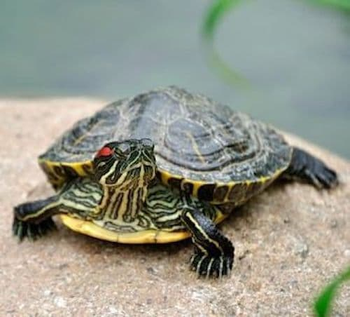 Turtles and Terrapins
